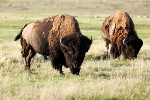 Buy Bison Meat - Noble Premium Bison